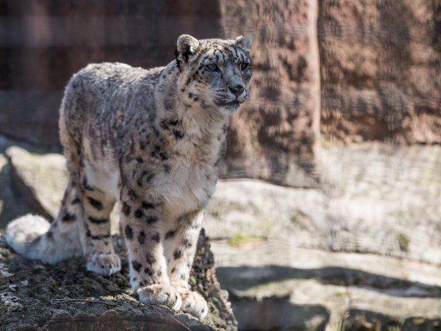 6407b47104739b Snow Leopard