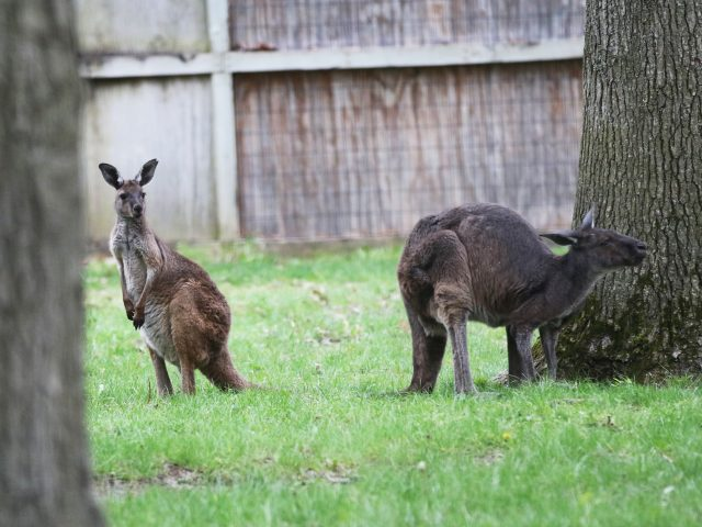 Western grey kangaroo | Potter Park Zoo