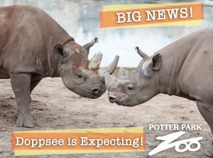 """Potter Park Zoo's Critically Endangered Black Rhino """"Doppsee"""" is"""