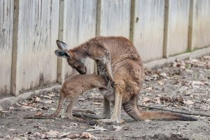Joey going into mothers pouch