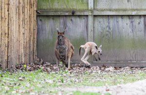 Joey and mother kangaroo