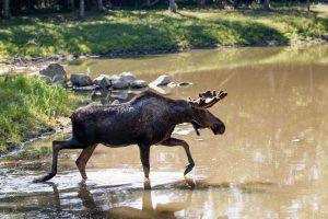 Meeko the moose