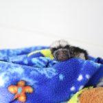 Cotton-Top Tamarin baby