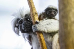 Cotton-Top Tamarin mother and baby