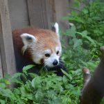 Doofah The Red Panda