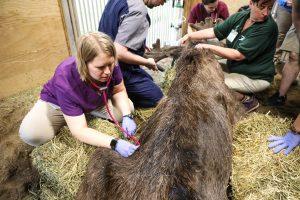 Meeko the moose being treated